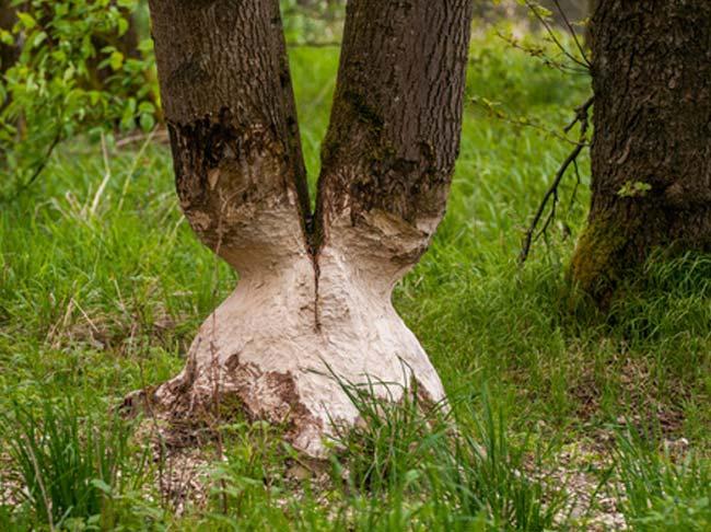 Ścieżka edukacyjno – przyrodnicza Bobrowy Szlak Czmoniec - Kórnik